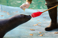 Seal with target stick and eyedrops Royalty Free Stock Photos