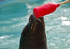 Seal with target stick Royalty Free Stock Images
