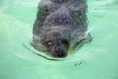 Seal Texel Royalty Free Stock Photography