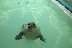 Seal Texel Stock Image