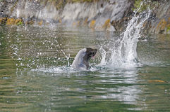 Seal thrashing a fish in the Ocean Stock Photos