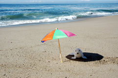 Seal and umbrella. Pup seal out of the sun under a umbrella Stock Image