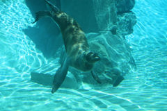 Seal Under Water Stock Photo
