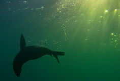 Seal underwater. A seal plays underwater in south africa Stock Photography