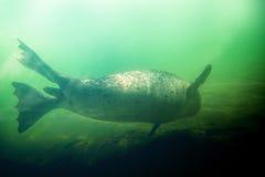 Seal underwater Stock Image