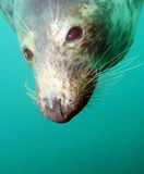 Seal. An underwater encounter with a curious Scottish seal Stock Image