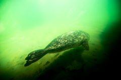 Seal underwater Royalty Free Stock Photography