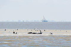 Seal in wadden sea Stock Image