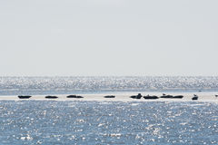Seal in wadden sea Stock Photography