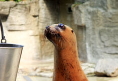 Seal waiting for food Stock Photography
