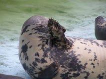 A seal was hidden Stock Photography