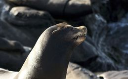 A seal watching me carefully Stock Photography