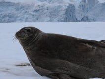 Seal watching you Royalty Free Stock Image