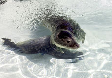 Seal in water Royalty Free Stock Photography