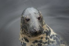 A seal in the water, a close up Royalty Free Stock Images