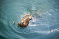 Seal in water Royalty Free Stock Image