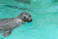 Seal in the water (eared seals, Otariidae) Royalty Free Stock Photography