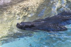 Seal in the water stock photography
