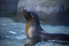 Seal in Water Royalty Free Stock Images