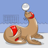 Seal - the water polo  player. The seal in a hat and swimming trunks is on the edge of the pool and holds a ball on a nose Royalty Free Stock Images