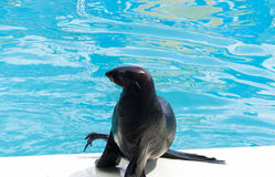 Seal in a water pool Royalty Free Stock Photo