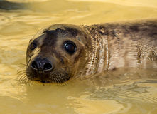 Seal in water at seal sanctuary. Closeup of rescued seal ln pool at seal sanctuary,Mablethorpe,Lincolnshire Royalty Free Stock Photos
