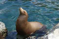 Seal in water Royalty Free Stock Photos