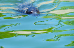 Seal in the water Stock Photo