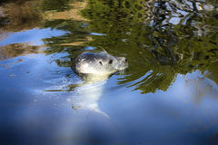 Seal in water Stock Image
