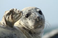 Seal waving Royalty Free Stock Photos