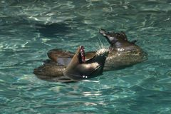 Seal Yawning Stock Photography