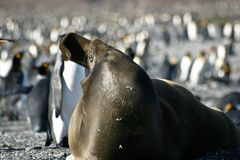 Seal yawning on the beach full of penguins Stock Images