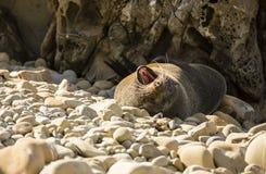 Seal Yawning Stock Image