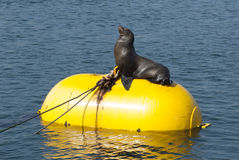 Seal on Yellow Bouy. Seal happily sunning itself on a bright yellow buoy in a marina in San Diego, California Royalty Free Stock Image