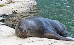 Seal in zoo. In vienna Royalty Free Stock Images