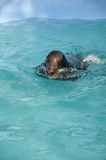 Seal in a zoo pool Royalty Free Stock Photos