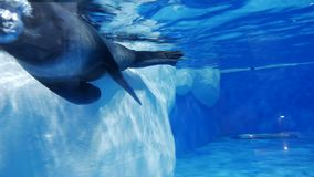 Seal at the zoo swims. Under water stock video