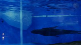 Seal at the zoo swims. Under water stock footage