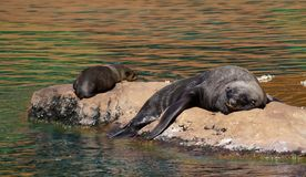 Seal at the zoo Stock Photos