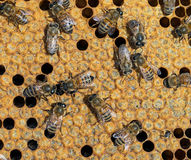 Sealed cells for metamorphosis, inside beehive. One new bee emer Stock Photo