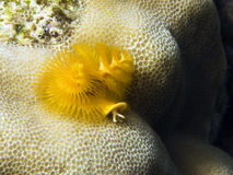 Sealife : christmas tree worm Stock Image