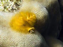Sealife : christmas tree worm. A big and orange colored christmas tree worm above corals Stock Image