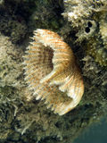 Sealife : feather duster worm. A big and orange colored feather duster worm in red sea coral reef Stock Photo