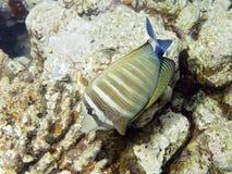 Sealife: Het Zweempje van Sailfin stock fotografie