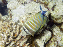 Sealife: Linguetta di Sailfin Fotografia Stock