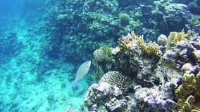 Sealife in the Red Sea, Egypt. Beautiful Colorful Tropical Fish on Vibrant Coral Reefs Underwater in the Red Sea. Egypt stock video