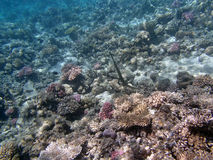 Sealife. Snorkeling in the red sea near hurghada Royalty Free Stock Image