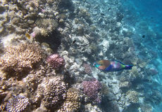 Sealife. Snorkeling in the red sea near hurghada Stock Photography