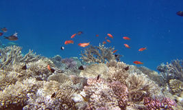 Sealife. Snorkeling in the red sea near hurghada Stock Images