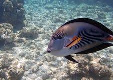 Sealife. Snorkeling in the red sea near hurghada Stock Photos
